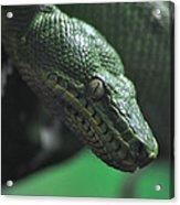 A Real Reptile Acrylic Print