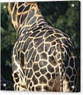 A Rear View Of A Rothschild Giraffe Acrylic Print