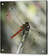 A Red Dragonfly Acrylic Print