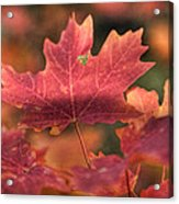 A Red Fall  Acrylic Print