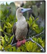 A Red-footed Booby Sula Sula Galapagos Acrylic Print