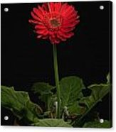 A Red Gerbera In A Pot Acrylic Print