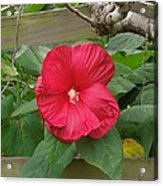 A Red Hibiscus Acrylic Print