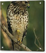 A Red Shouldered Hawk Perches On A Tree Acrylic Print