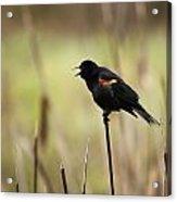 A Red-winged Blackbird Agelaius Acrylic Print
