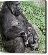 A Relaxed Western Lowland Gorilla Acrylic Print