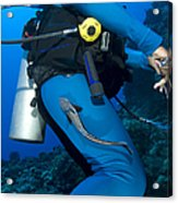 A Remora Attached To A Diver, Kimbe Acrylic Print