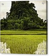A Rice Field In Asia Acrylic Print by Nathan Lau