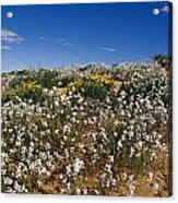 A Riot Of Wild Stock Flowers And Annual Acrylic Print