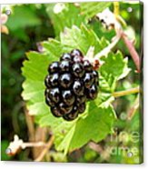 A Ripe Blackberry Acrylic Print