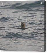 A River Otter Sticks His Head Acrylic Print