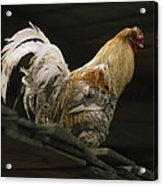 A Rooster Struts On A Wood Roof Acrylic Print