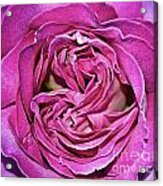 A Rose Is A Rose ... Acrylic Print