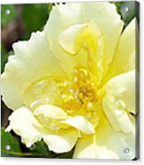 A Rose Is A Rose Rrp Acrylic Print
