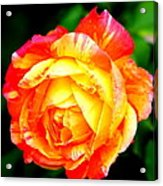 A Rose Acrylic Print by Jose Lopez