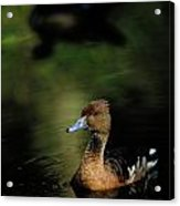 A Ruddy Duck Swims Through The Marsh Acrylic Print