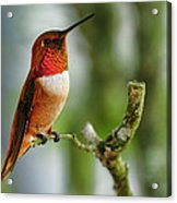 A Rufous Hummingbird Perched Acrylic Print