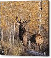 A Rutting Bull Elk, Or Wapiti, Stands Acrylic Print by Medford Taylor