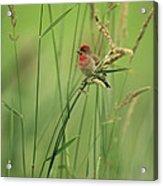 A Scarlet Grosbeak Perched On Grass Acrylic Print