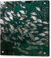 A School Of Tomtate And Glass Minnows Acrylic Print by Michael Wood
