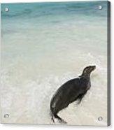 A Sea Lion Otariidae In The Shallow Acrylic Print