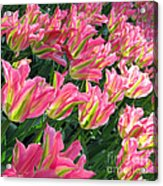 A Sea Of Pink Tulips. Square Format Acrylic Print