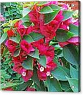 A Section Of Pink Bougainvillea Flowers Acrylic Print