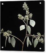 A Seeded Eucalyptus Eucalyptus Cinerea Acrylic Print
