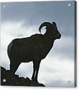 A Silhouetted Bighorn Sheep Standing Acrylic Print