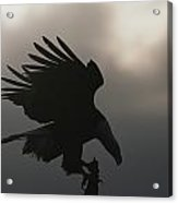 A Silhouetted Northern American Bald Acrylic Print