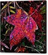A Single Sweetgum Leaf Acrylic Print