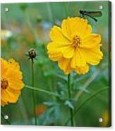 A Small Dragon Fly Sitting On A Yellow Flower Acrylic Print