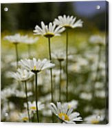 A Small Group Of Daisies Stands Acrylic Print