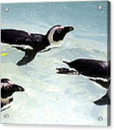 A Small Squadron Of Swimming Penguins Acrylic Print