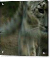 A Snow Leopard Acrylic Print