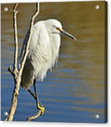 A Snowy Egret  Acrylic Print