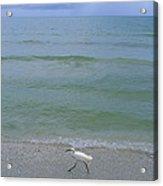 A Snowy Egret Walks Along The Beach Acrylic Print