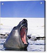 A Southern Elephant Seal, Mirounga Acrylic Print by Bill Curtsinger