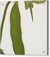 A Soybean Plant Acrylic Print