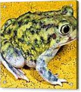 A Spadefoot Toad Acrylic Print