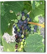 A Spider On The Grapes Acrylic Print