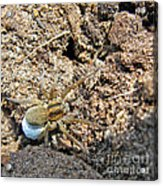 A Spider With The Egg Sack Square Acrylic Print