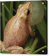 A Spring Peeper Calls For A Mate Acrylic Print