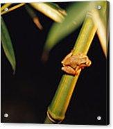 A Spring Peeper Frog Perches Acrylic Print by Raymond Gehman