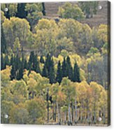 A Stand Of Aspen And Evergreen Trees Acrylic Print