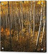 A Stand Of Aspen Trees Displaying Acrylic Print