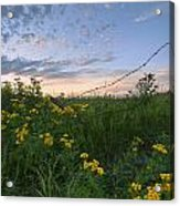 A Summer Evening Sky With Yellow Tansy Acrylic Print