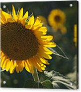 A Sunflower Bows To Its Own Weight Acrylic Print