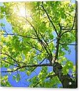 A Tall Tree Acrylic Print