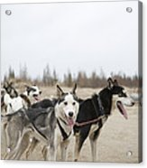 A Team Of Dogs Pull A Cart Acrylic Print